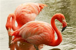 Pink elegant flamingos side by side, tropical birds couple close up