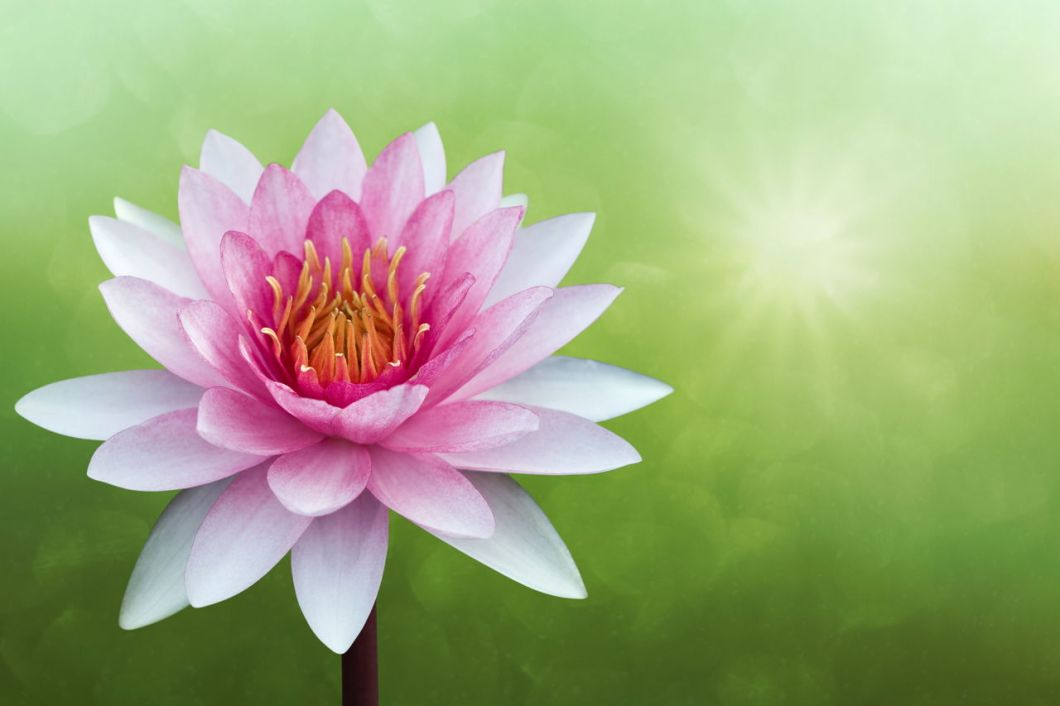 Meaning Of Red Lotus Flower Kayaflowerco