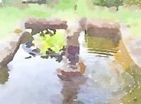 Frog pond - pixieperennials.com