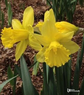 Daffodil - pixieperenials.com