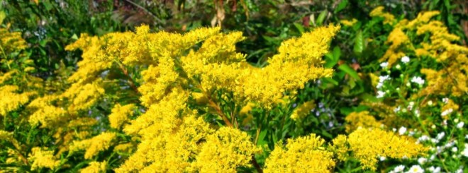 "Goldenrod plants in full bloom - from ""Goldenrod and Ginger Wine"" on pixiespocket.com"