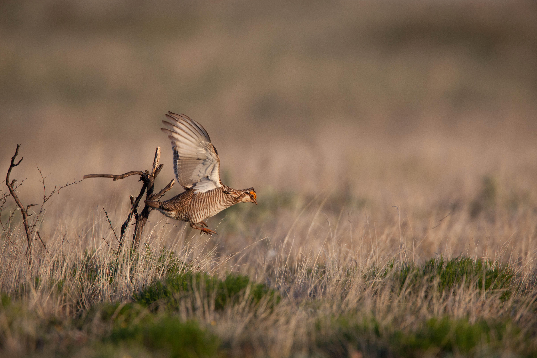 Free Picture Lesser Prairie Bird Flying Desert