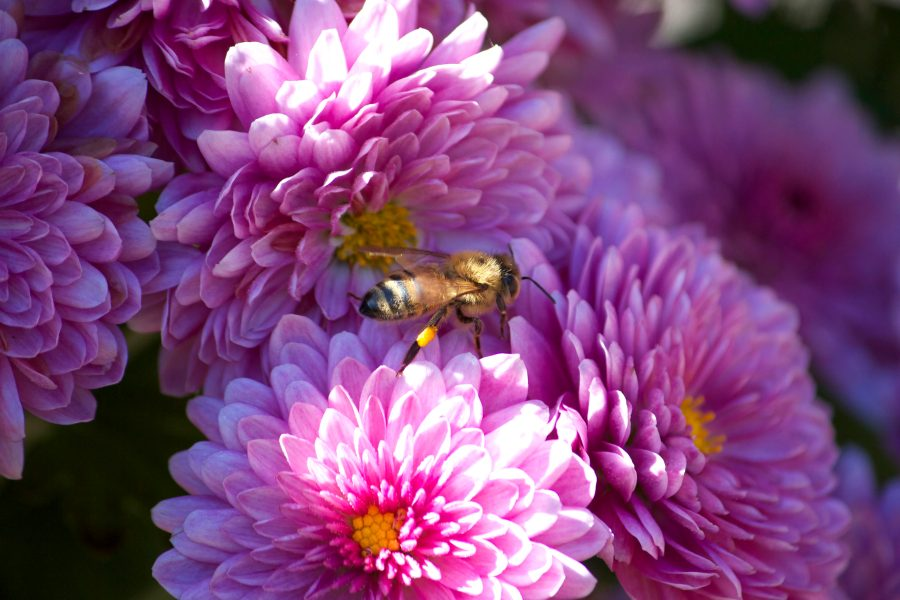 Free picture  honey bee  insect  macro  pink flowers  flowers  bee     honey bee  insect  macro  pink flowers  flowers  bee  summer