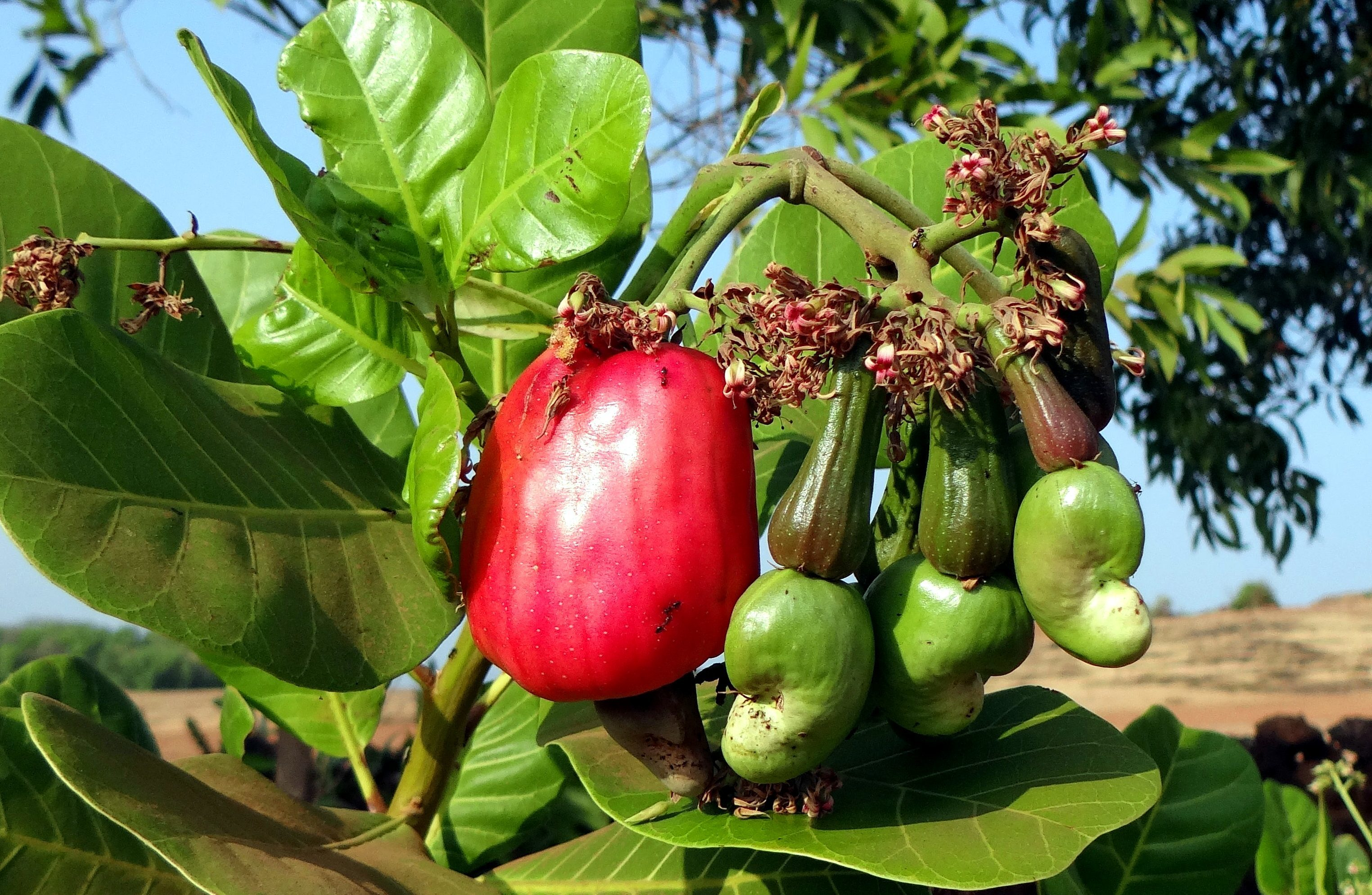 Free Picture Cashew Tree Cashew Fruit