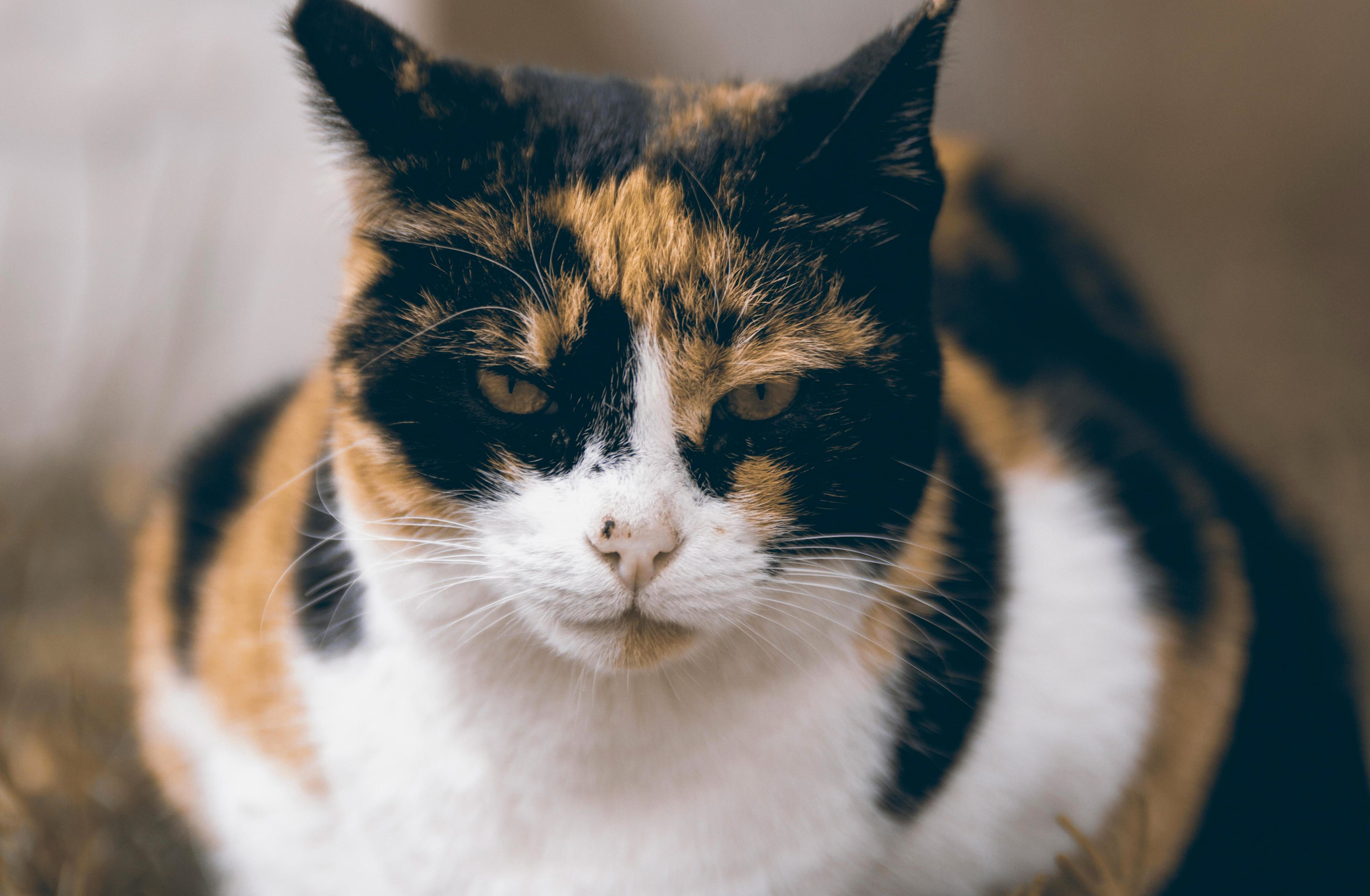 Free Picture Animal Domestic Cat Pet Kitten Cat Mad