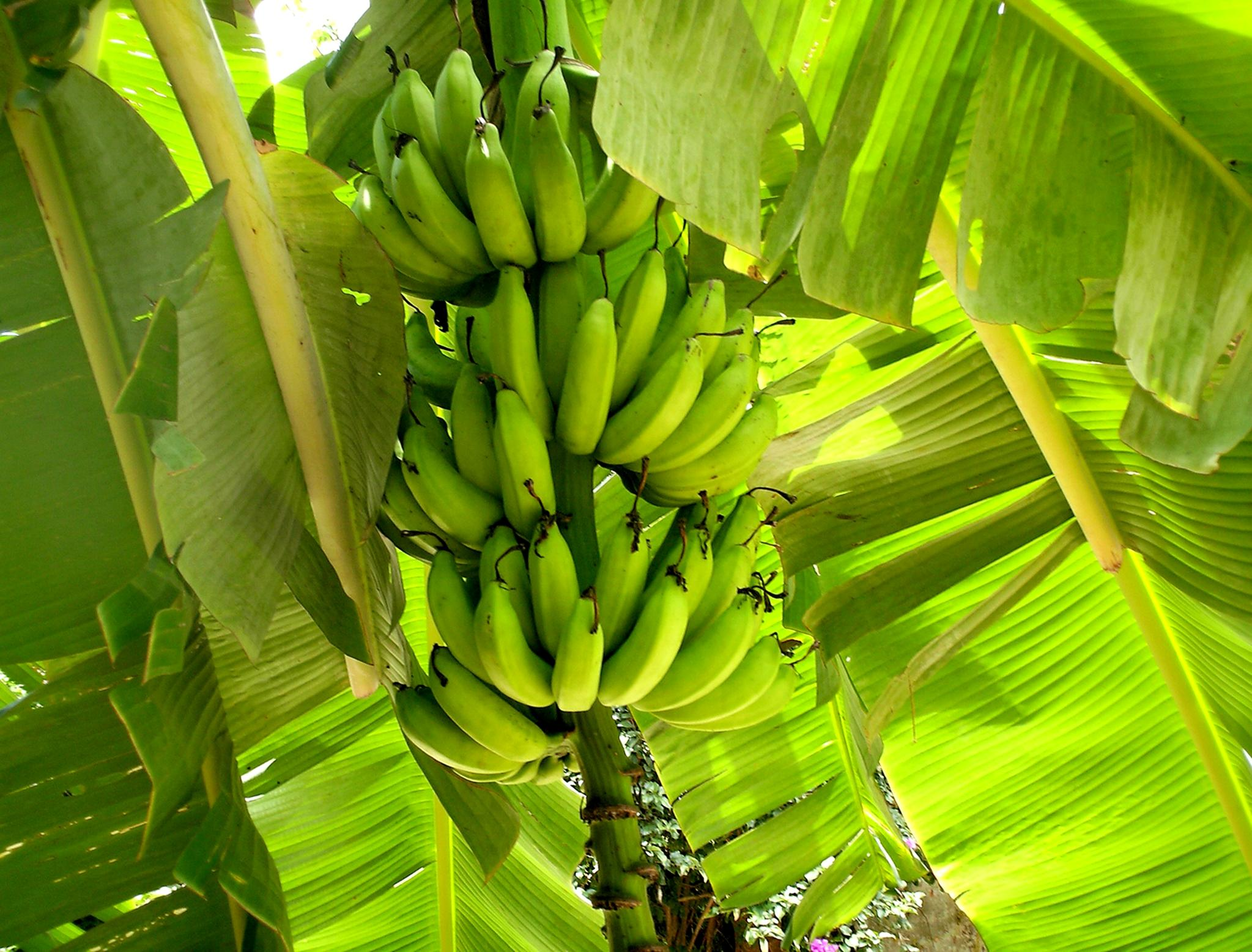 Free Picture Banana Leaf Nature Flora Fruit