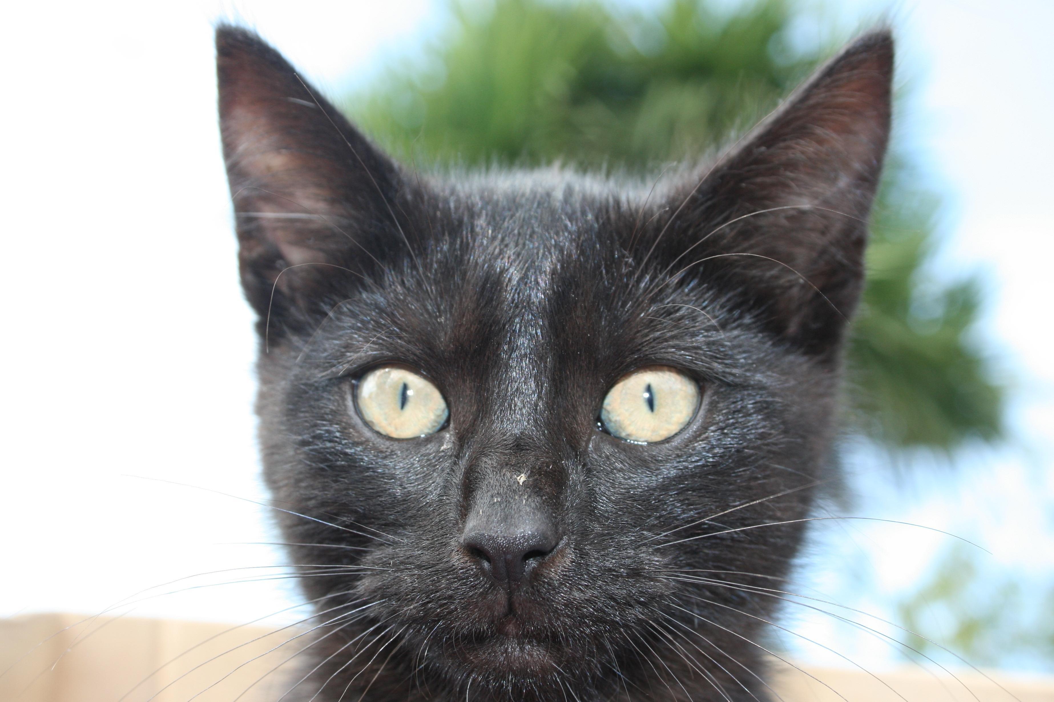Free Picture Black Cat Cute Animal Pet Portrait Eye