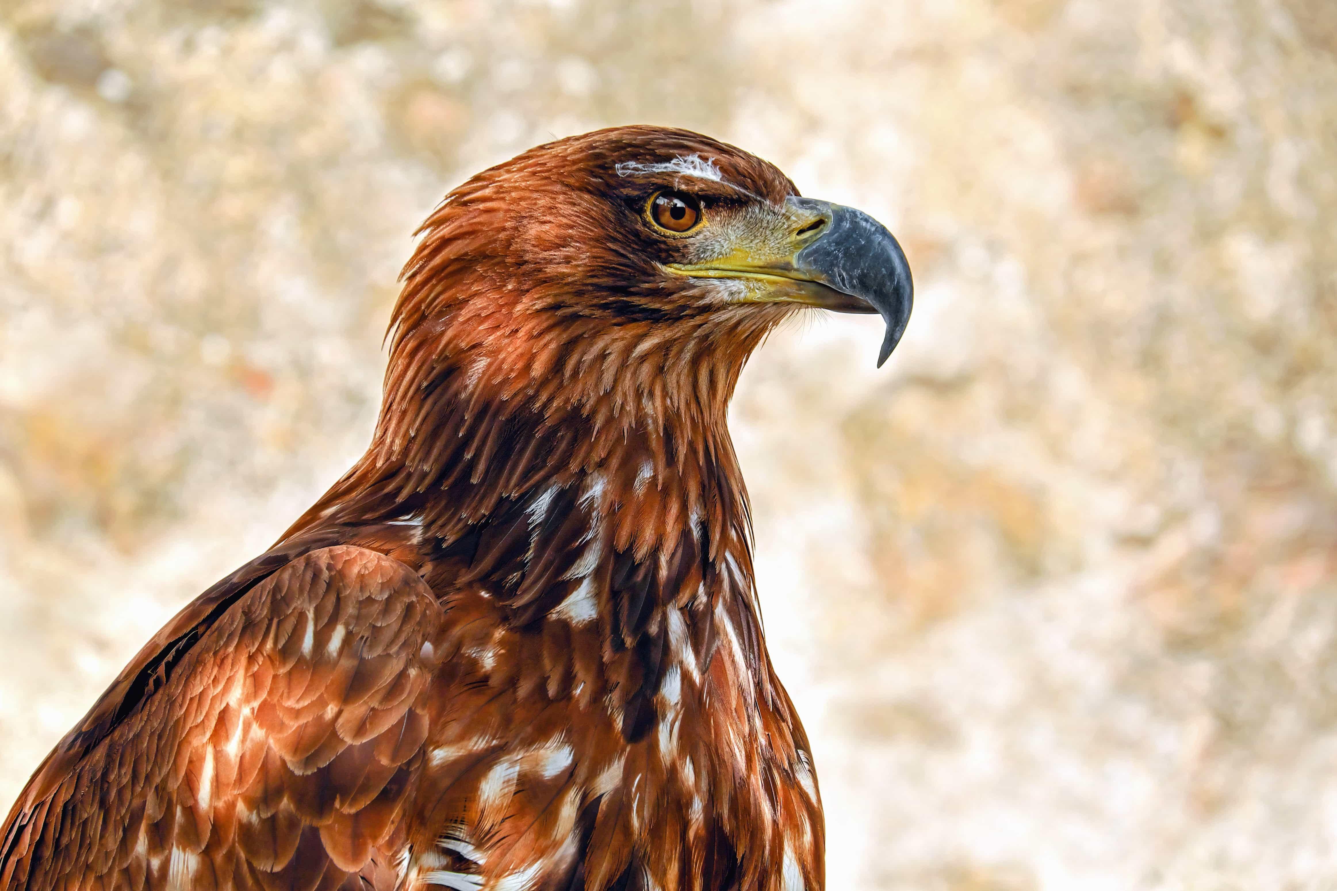 Free Picture Wildlife Nature Bird Hawk Beak Wild