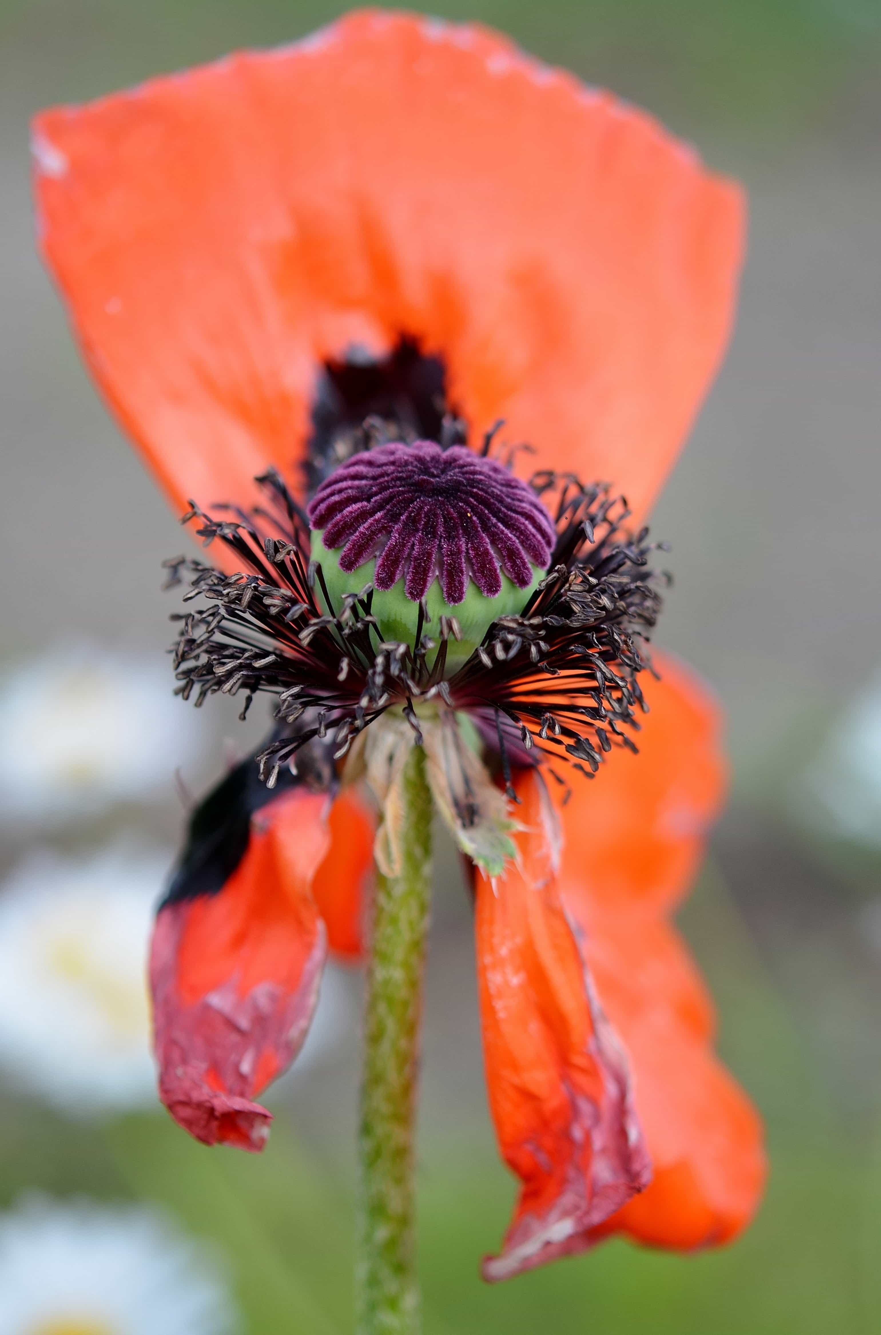 Colors Poppy Pictures Flowers