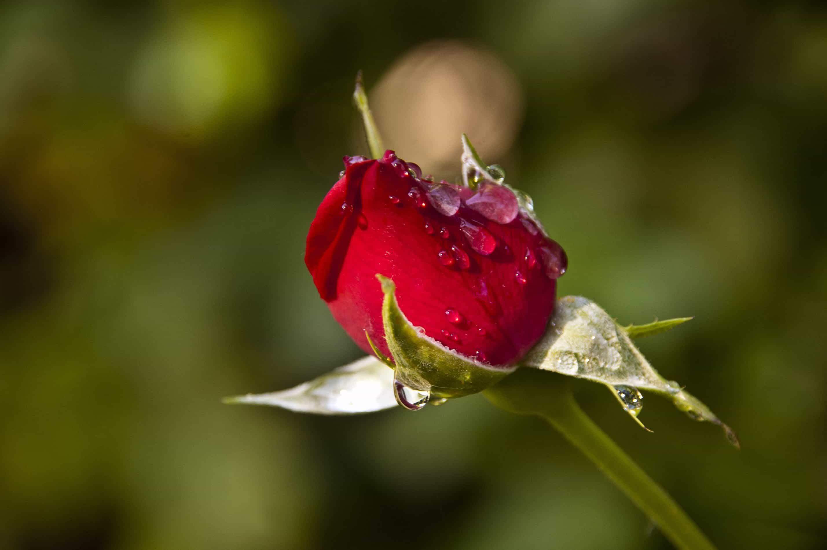 Free Picture Flower Leaf Nature Dew Raindrop