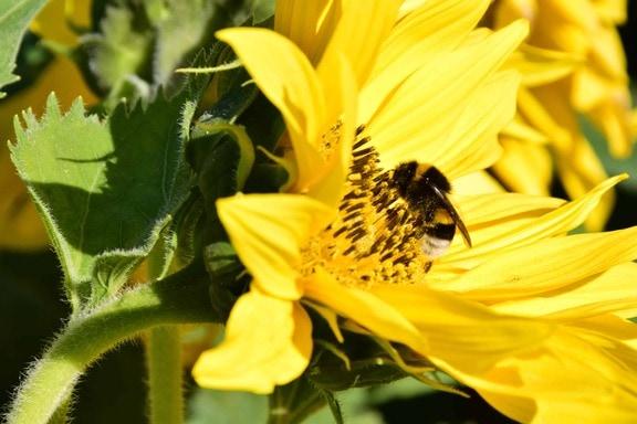 Безкоштовна картинка: трава, завод, соняшник, квітка, поля ...