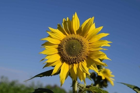 Безкоштовна картинка: завод, соняшник, квітка, Синє небо ...