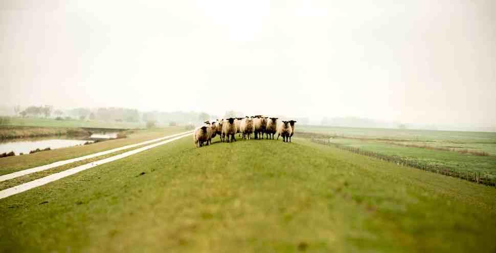 Gratis afbeelding: schapen, vee, dier, landbouwgrond, landbouw, gras,  landschap, veld, platteland