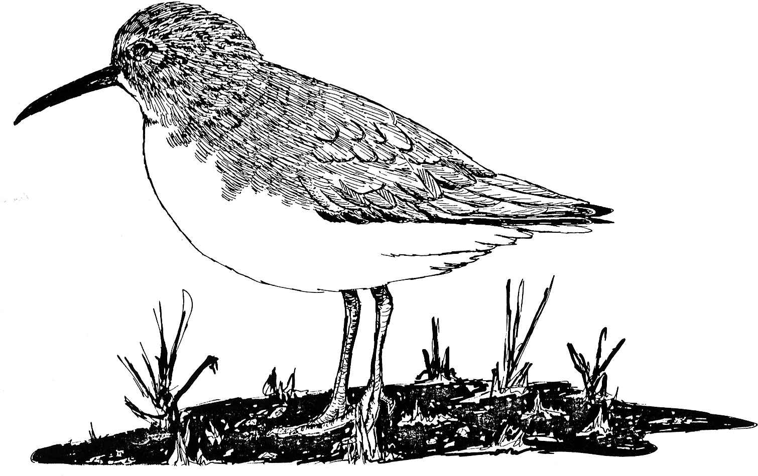 Free Picture Drawing White Paper Calidris Alpina