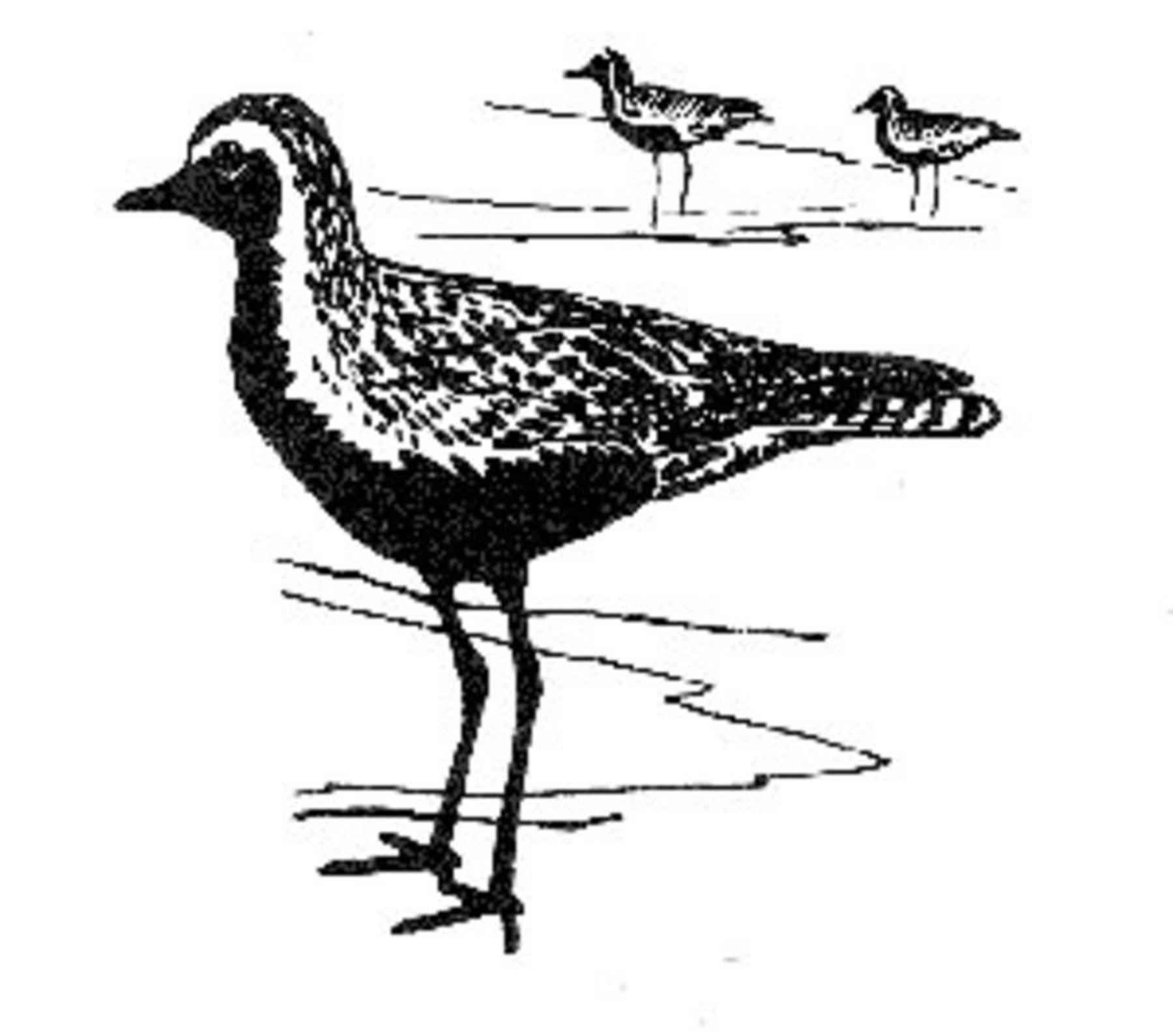 Free Picture Shorebirds Drawing Art Black And White