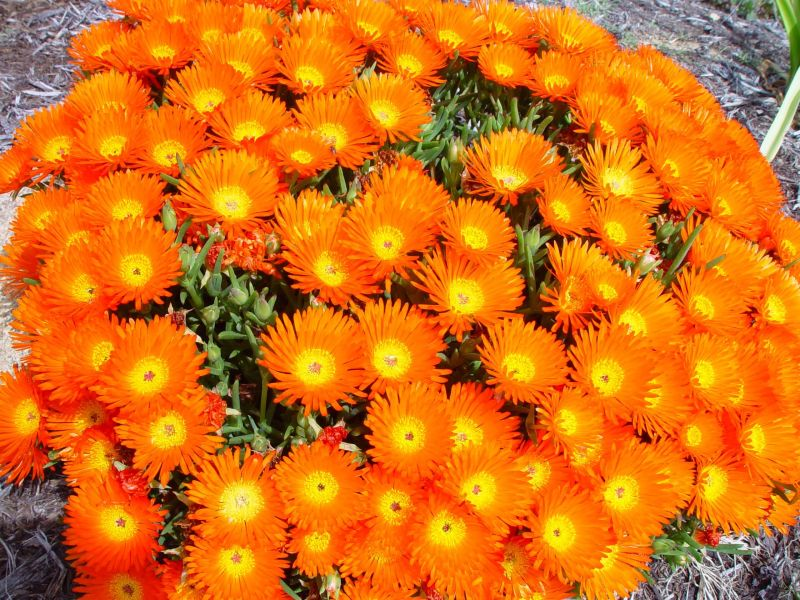 Free picture  clump  bright  orange flowers clump  bright  orange flowers