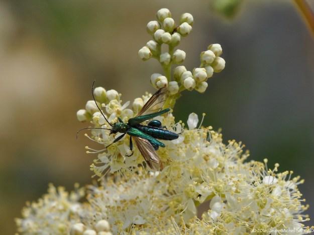Oedemère aux tibias renflés (c'est un mâle) dépliant ses ailes sous ses élytres pour s'envoler d'une reine des prés.