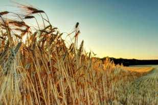 Ein großes Weizenfeld.