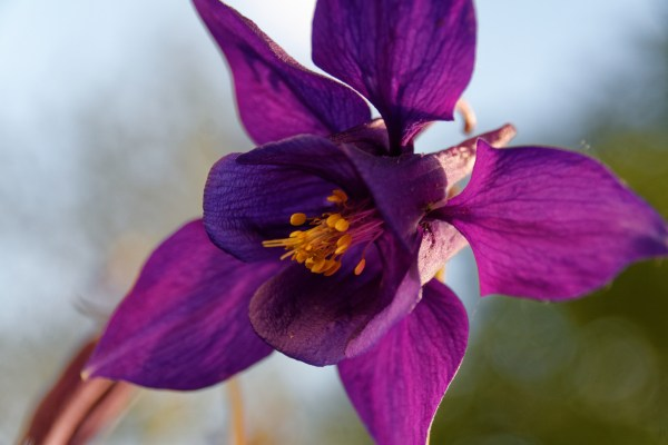 columbine flowers facts and growing tips the spruce - HD3504×2336
