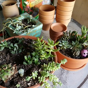 Succulent gardens and new pots