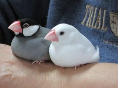 文鳥の鳴き声には、どんな意味があるのかについてご紹介
