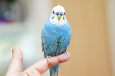 ペットに人気の鳥の種類と購入時のかかる値段について紹介します