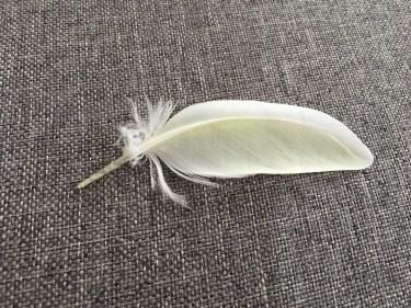 セキセイインコの羽の生えかわり。換羽の仕組みと注意したいこと