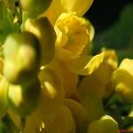 Mahonia: Flor amarilla [Imagen]