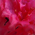 flor de azalea roja