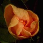 Life of flowers [ Timelapse ]