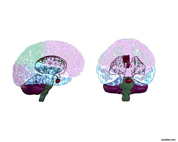 cerebro_seccion_640