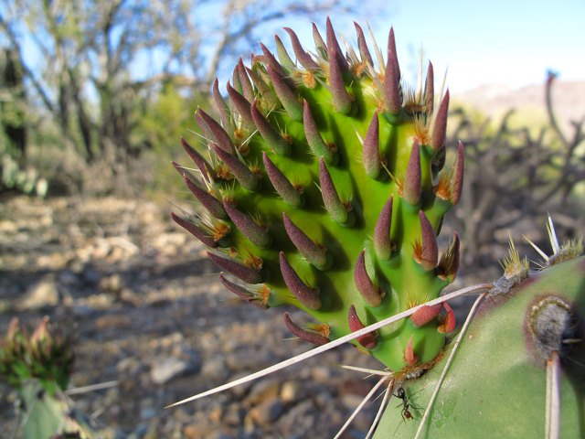 A young pad forming on a prickly pear cactus.