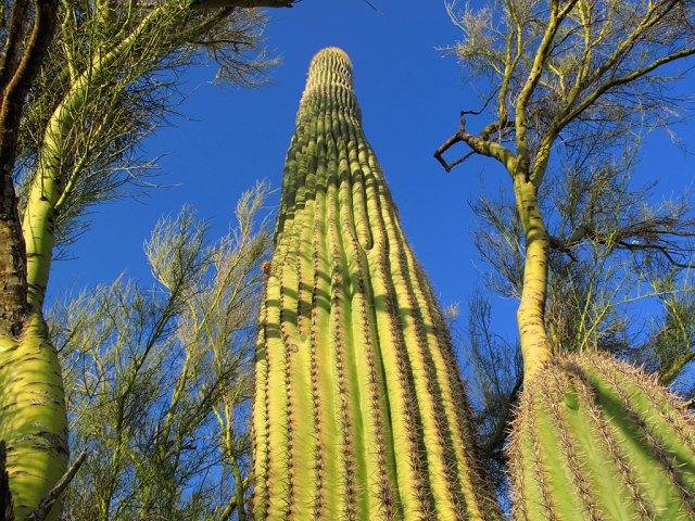 A mature saguaro grows between its two nurse plants, a couple palo verdes.