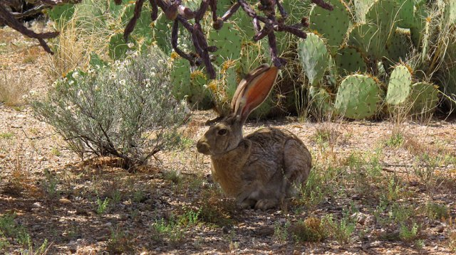 A jackrabbit hunkers in the shade of a cholla cactus.