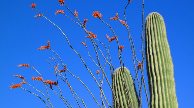 Red blooms of an ocotillo.