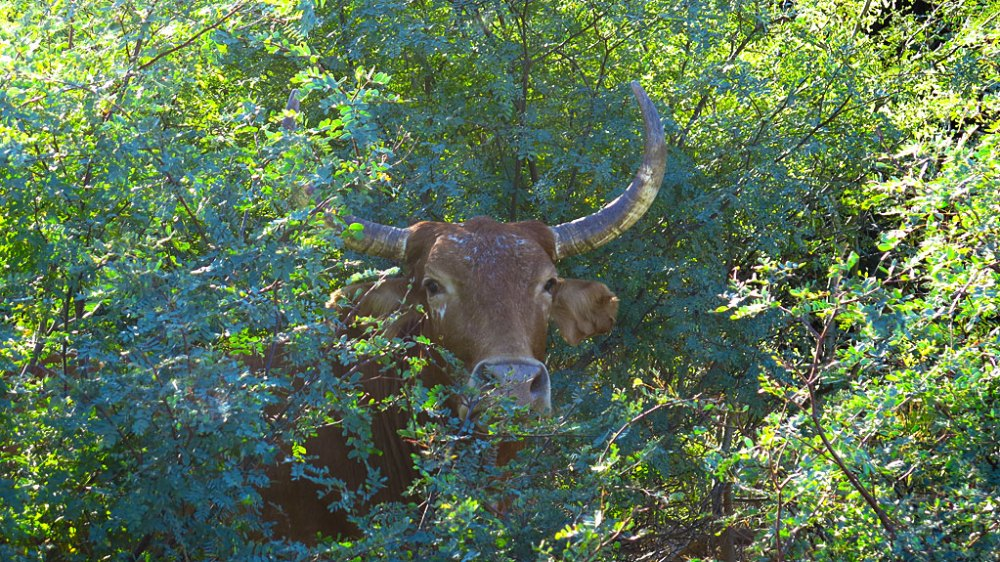 A quite friendly Agua Verde local. To show that we are sophisticated Americans, we moo'd at him.