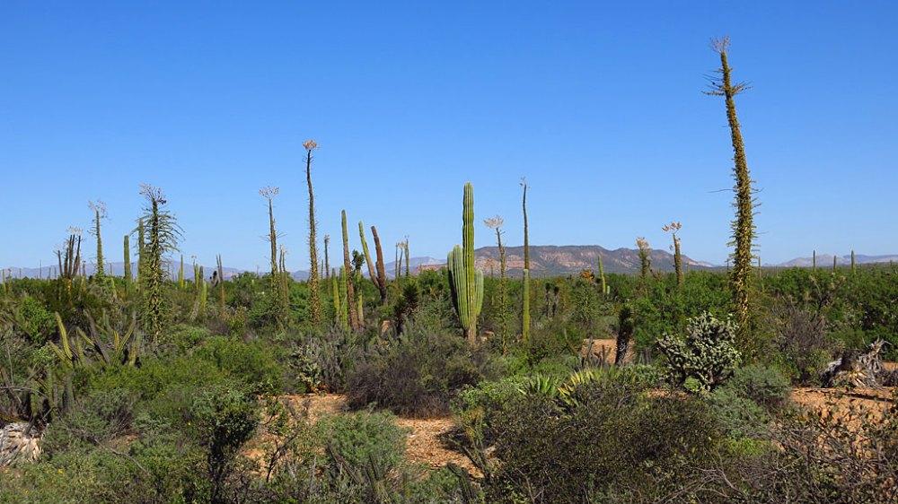 Cardón cactus and Boojum Trees near Punta Prieta.