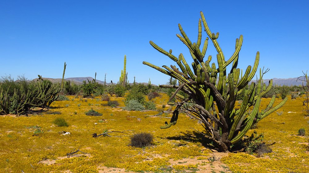 The desert blanketed with yellow flowers.