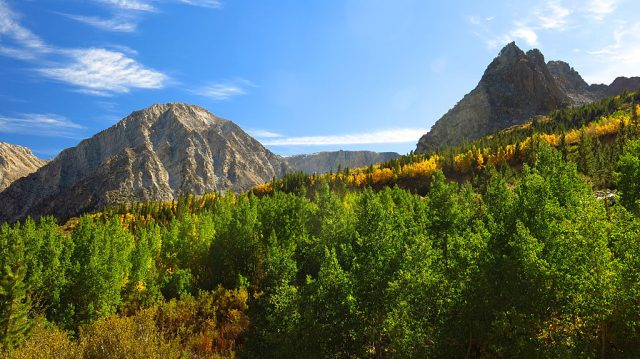 Aspens changing color at 9,000' in Tioga Pass near the east entrance to Yosemite National Park.