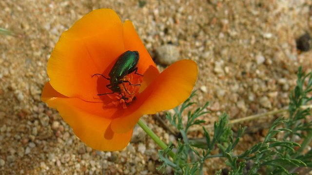 A Tiger Beetle enjoys lunch in a California Poppy.