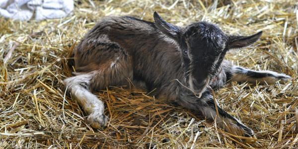 baby goats java and jericho_blog_2