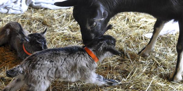 baby goats java and jericho_blog_3