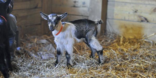 vanish-and-venice-goats_blog_1