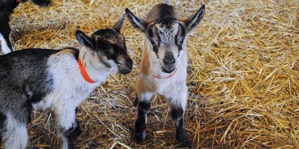 vanish-and-venice-goats_blog_10