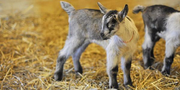 vanish-and-venice-goats_blog_3