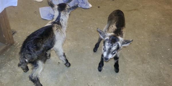 vanish-and-venice-goats_blog_6
