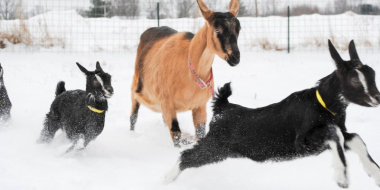 baby goats in the snow_11