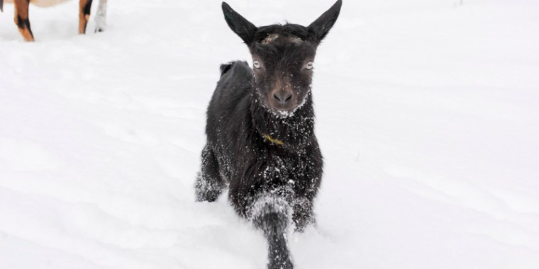 baby goats in the snow_13