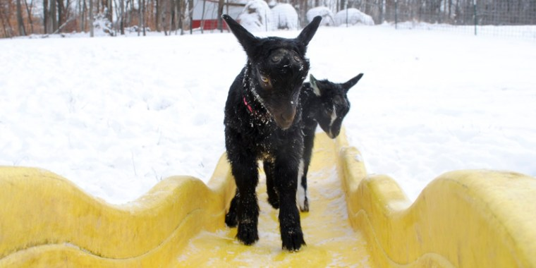 baby goats in the snow_23