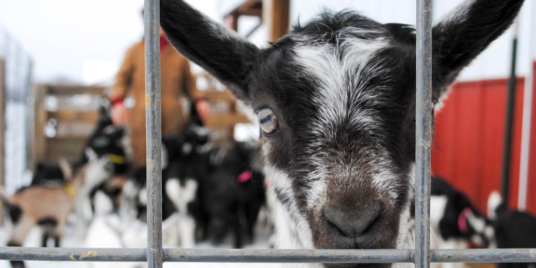 baby goats in the snow_4